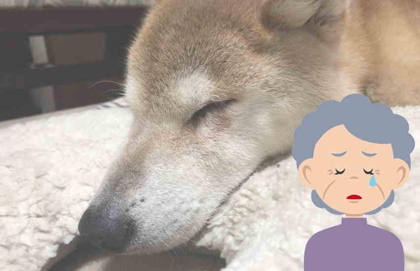 老犬 夜泣き 寿命